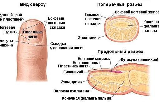 схема строения ногтя и ногтевой пластины
